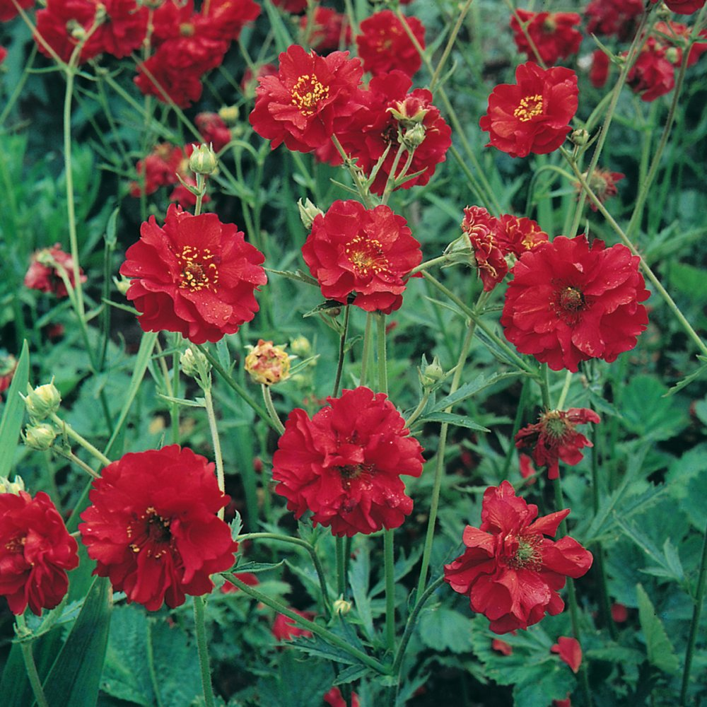Annuals Biennials And Perennials